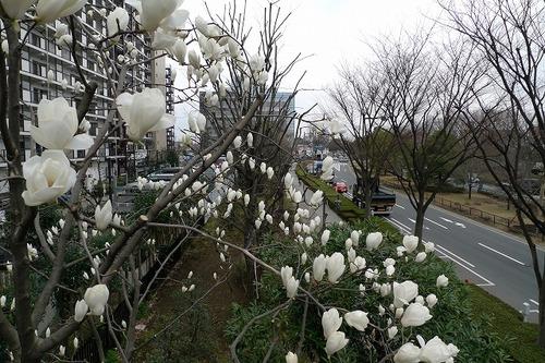 辛夷の咲く街路